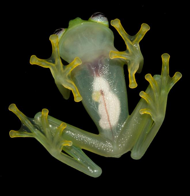 PHOTOGRAPH BY BRIAN KUBICKI, COSTA RICAN AMPHIBIAN RESEARCH CENTER