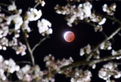 A total lunar eclipse is observed above cherry blossoms in Shiraishi city, Miyagi prefecture, northeastern Japan, Saturday, April 4, 2015. (AP Photo/Kyodo News) JAPAN OUT, MANDATORY CREDIT
