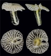 THE X-PHYLA: Residing on the sea floor off the coast of Australia, Dendrogramma enigmatica is notable for its tiny size and mushroomlike shape. It resembles members of the phyla Cnidaria (jellyfish, corals, sea anemones and hydras) and Ctenophora (comb jellies) but lacks key evolutionary traits of both. Consequently, scientists have proposed that D. enigmatica might be a member of its own new phylum. Photograph by Jørgen Oleson