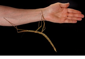 """WALKING STICK Measuring at 23 centimeters long—yes, as long as a human forearm—Phyganistria tamdaoensis is a member of the family of """"giant stick"""" insects, the largest insects in the world. The creature's stick like body makes it a master of camouflage, which helps explain how it eluded discovery in its habitat in Vietnam—until now. Photograph by Jonathan Brecko"""