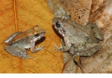 INDONESIAN FROG: Limnonectes larvaepartus is a small fanged frog found in forests on the island of Sulawesi in Indonesia. It is unique in that the female's eggs are fertilized internally and she gives birth to live tadpoles. Of the 6,455 known species of frogs, fewer than a dozen undergo internal fertilization. And apart from this new species, all frogs either lay eggs or give birth to froglets. Photograph by Jimmy A. McGuire