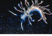 PHOTOGENIC SEA SLUG: This gastropod, Phyllodesmium acanthorhinum, sports vivid shades of blue, red and gold. Its discovery helped scientists understand the symbiosis that occurs in members of this genus. Algae called zooxanthellae typically exist symbiotically with coral, where they exchange nutrients via cycles of respiration and photosynthesis. In sea slugs a type of tri-species symbiosis occurs when algae residing in a slug's gut draw nutrients from coral its host consumes, in turn furnishing the slug with the nutrient products of photosynthesis. Photograph by Robert Bolland