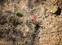 SOLITARY BROMELIAD: Tillandsia religiosa, a solitary flowering plant with rose-colored spikes and flat green leaves, grows in rocky terrain in Morelos, Mexico. T. religiosa has long been known to native people of the region, who incorporated it into nacimientos (altar scenes depicting the birth of Christ) at Christmas. Yet scientists have only recently described it. Photograph by A. Espejo