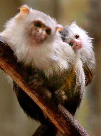 090618-03-best-animal-dads-marmoset_big