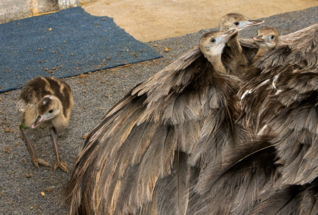 090618-04-best-animal-fathers-greater-rhea_big