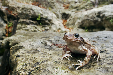 090618-05-best-animal-father-barking-frog_big