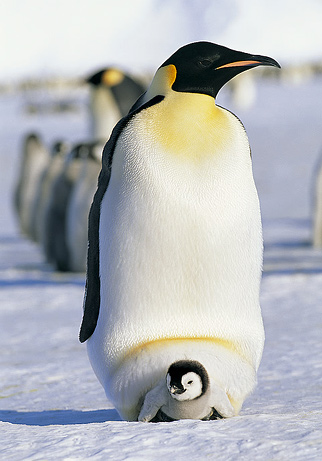 090618-07-greatest-animal-dads-emperor-penguin_big