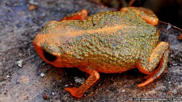 Brachycephalus comes in a variety of bright colors IMAGE: MARCIO R. PIE, CC BY SA