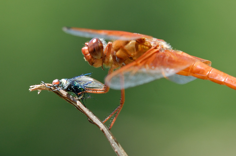 orange_dragonfly_x13.jpg