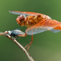 Dragonfly Attack - CREDIT: grahamowengallery