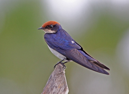 The Wire-tailed Swallows are swallows found in Africa and Asia. Their common name is derived from their very long, fine outer tail feathers which trail behind like two wires; and their scientific name honors Professor Chetien Smith, a Norwegian botanist, who was a member of the expedition that discovered this species.