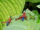 "Monkey hoppers are brightly colored grasshoppers, many with lovely blue, teal, orange, or red highlights on their bodies. They also have the odd nickname of ""matchstick grasshoppers"", probably because their long hind legs always seem to be awkwardly sized for their bodies."
