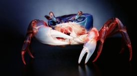The blue crab is so named because of its sapphire-tinted claws. Its shell, or carapace, is actually a mottled brownish color, and mature females have red highlights on the tips of their pincers.