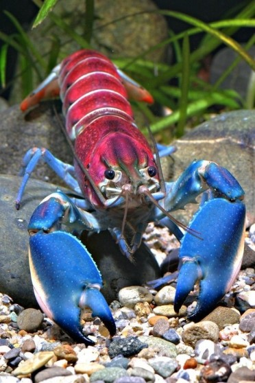 "An independent German researcher has for the first time described this crayfish as a new species. The blue, pink and white crayfish from Indonesia has been dubbed Cherax pulcher. ""Pulcher"" is Latin for ""beautiful."""