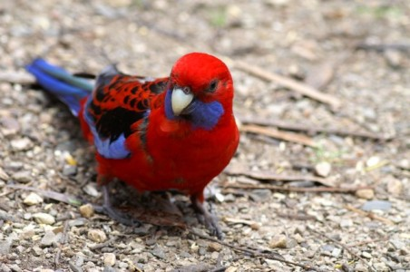 The crimson rosella (Platycercus elegans) is a parrot native to eastern and south eastern Australia which has been introduced to New Zealand and Norfolk Island. It is commonly found in, but not restricted to, mountain forests and gardens.