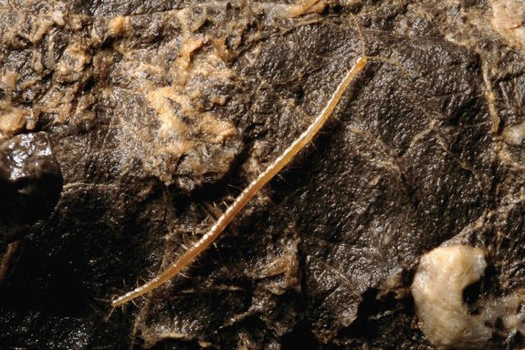 Hades Centipede