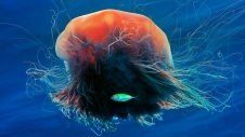 The lion's mane jellyfish (Cyanea capillata), also known as hair jelly, is the largest known species of jellyfish. Its range is confined to cold, boreal waters of the Arctic, northern Atlantic, and northern Pacific Oceans.