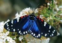 Composia fidelissima sometimes known as the faithful beauty or Uncle Sam moth is a moth in the Erebidae family. It is found in southern Florida and the West Indies, including Cuba.