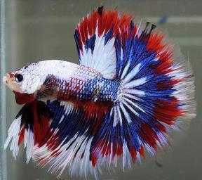 The Siamese fighting fish, or betta, is a vibrantly-colored fish often seen swimming solo in ornamental vases in both the office and home.