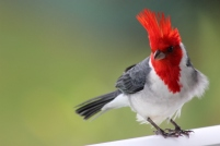 The red-crested cardinal gets its common name from its prominent red head and crest. Also known as the Brazilian Cardinal, it was introduced around 1930 from South America. It feeds on seeds, plant matter, insects and fruit.