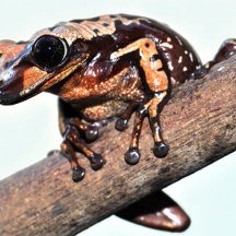 Bruno's casque-headed frog. Credit: Carlos Jared/Butantan Institute