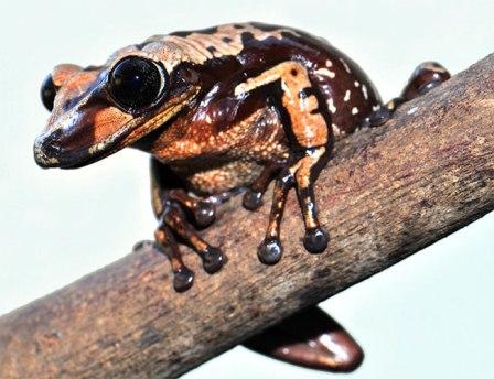 Bruno's casque-headed frog. Credit: Carlos Jared/Butantan Institute