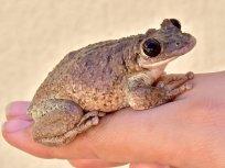 Corythomantis greeningi frogs carry potent venom. Credit: Carlos Jared