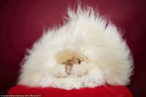 the longest fur on a rabbit, which has been measured as 36.5 cm (14.37 inches) and belongs to two-year-old English Angora rabbit Franchesca from California.