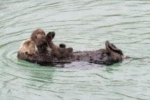 Sea Otter gives birth to newborn pup in Monterey Bay Aquarium Tide Pool. Photo: Tyson V. Rininger, Monterey Bay Aquarium