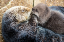 Sea Otter gives birth to newborn pup in Monterey Bay Aquarium Tide Pool. Photo: Tyson V. Rininger, Monterey Bay Aquarium
