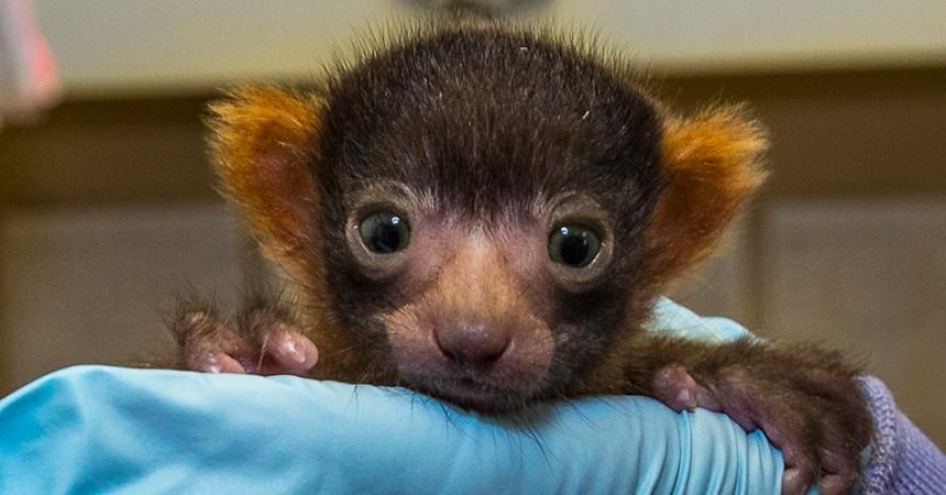 san diego lemur baby