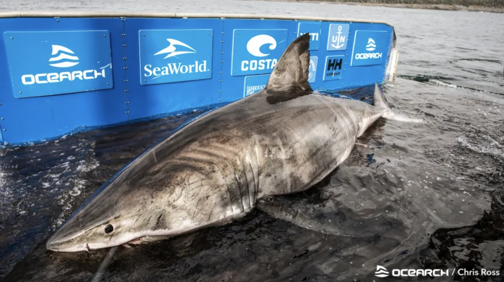 Nukumi, the 17-foot long great white shark found off Nova Scotia, is roughly 50 years old.